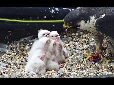 Peregrine falcons cam